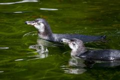 Le petit pingouin nage dans un lac photographie stock
