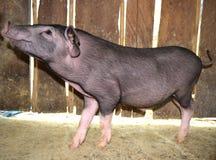 Le petit porc noir est foyer de vue de côté de sembler sur la tête Images stock