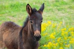 Le petit poulain de cheval avec les yeux tristes flâne dans un domaine vert Image stock