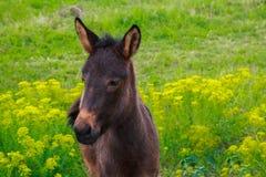 Le petit poulain de cheval avec les yeux tristes flâne dans un domaine vert Photos libres de droits
