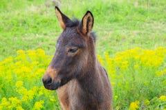 Le petit poulain de cheval avec les yeux tristes flâne dans un domaine vert Images libres de droits