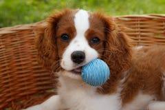 Le petit Roi cavalier mignon Charles Spaniel avec la petite boule bleue dans sa bouche Images stock