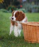 Le petit Roi cavalier mignon Charles Spaniel se tenant à côté du panier en bois Image stock