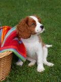 Le petit Roi cavalier mignon Charles Spaniel se tenant à côté du panier en bois Photo stock