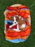 Le petit Roi cavalier mignon Charles Spaniel se trouvant sur la couverture colorée dans le panier en bois Image libre de droits