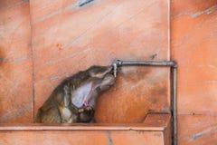 Le petit singe boit de la mère potable Image libre de droits