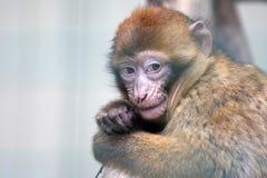 Le petit singe grignote sur une branche d'arbre Photos stock