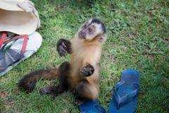 Le petit singe voulant la nourriture Image stock