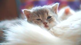 Le petit sommeil mignon mignon blanc drôle de chaton repose le lit un matin couvrant à carreaux de soleil animal familier de chat banque de vidéos