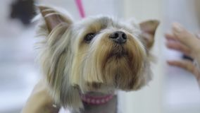 Le petit terrier de Yorkshire mignon a peigné avec un peigne en métal au groomer Coupe de cheveux et dénommer animaux professionn clips vidéos