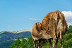 Le petit veau boit du lait de la vache Photographie stock libre de droits
