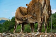 Le petit veau boit du lait de la vache Photos libres de droits