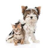 Le petits chat du Bengale et terrier de Biewer-Yorkshire poursuivent ensemble D'isolement Photographie stock libre de droits