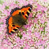 Le petits papillon d'écaille ou urticae d'Aglais sur le sedum fleurit Image stock