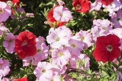 Le petunie fiorisce nei colori differenti per sfondo naturale Fotografia Stock