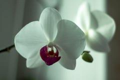 Le Phalaenopsis/ËŒfæláµ» ˈnÉ'psɪs/Blume 1825, connu sous le nom d'orchidées de mite, a abrégé Phal dans le commerce horticole Images stock