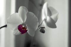 Le Phalaenopsis/ËŒfæláµ» ˈnÉ'psɪs/Blume 1825, connu sous le nom d'orchidées de mite, a abrégé Phal dans le commerce horticole Image libre de droits