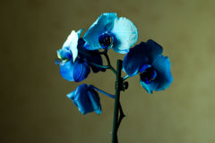 Le Phalaenopsis/ËŒblue/Blume 1825, connu sous le nom d'orchidées de mite, a abrégé Phal dans le commerce horticole, [2] une orchi Images stock