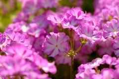 Le phlox blanc pourpre fleurit des couleurs chaudes Image stock