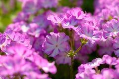 Le phlox blanc pourpre fleurit des couleurs froides Image stock