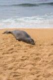 Le phoque dormant sur le sable, Hawaï Images libres de droits