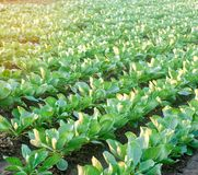 Le piantagioni del cavolo si sviluppano nel campo file di verdure Agricoltura, agricoltura Paesaggio con terreno agricolo crops immagine stock libera da diritti