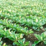 Le piantagioni del cavolo si sviluppano nel campo file di verdure Agricoltura, agricoltura Paesaggio con terreno agricolo crops fotografie stock libere da diritti