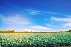 Le piantagioni del cavolo si sviluppano nel campo Verdure fresche e organiche Agricoltura del paesaggio terreno coltivabile, colt immagine stock
