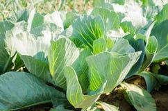 Le piantagioni del cavolo si sviluppano nel campo Verdure fresche e organiche Agricoltura del paesaggio terreno coltivabile, colt immagine stock libera da diritti