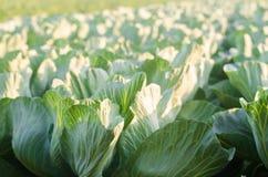 Le piantagioni del cavolo si sviluppano nel campo Verdure fresche e organiche Agricoltura del paesaggio terreno coltivabile, colt fotografie stock libere da diritti