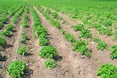 Le piantagioni della patata si sviluppano nel campo file di verdure Agricoltura, agricoltura immagini stock libere da diritti
