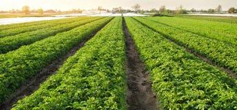 Le piantagioni della patata sono si sviluppano sul campo un giorno soleggiato Verdure organiche crescenti nel campo file di verdu immagine stock libera da diritti