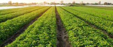 Le piantagioni della patata sono si sviluppano sul campo un giorno soleggiato Verdure organiche crescenti nel campo file di verdu fotografia stock