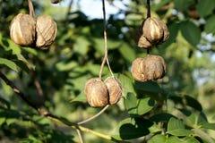 Le piantagioni di gomma, erba hanno dissimulato la placenta è solide Immagini Stock