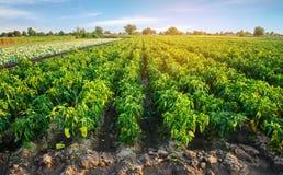 Le piantagioni di pepe si sviluppano nel campo file di verdure Agricoltura, agricoltura Paesaggio con terreno agricolo crops immagine stock libera da diritti