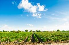 Le piantagioni di pepe si sviluppano nel campo file di verdure Agricoltura, agricoltura Paesaggio con terreno agricolo crops fotografia stock libera da diritti