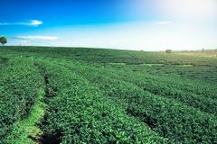 Le piantagioni di tè abbelliscono il fondo di vista con cielo blu nel chiaro giorno fotografie stock