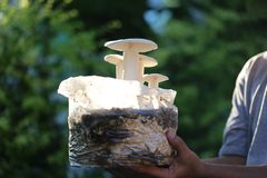 Le piantatrici passano la crescita del latteo-fungo della tenuta sul suolo nell'azienda agricola immagine stock libera da diritti