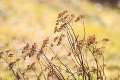 Le piante asciutte con dorato boken Fotografia Stock Libera da Diritti