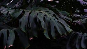 Le piante con le grandi foglie si sviluppano in giungle, fotografia del primo piano n fotografia stock libera da diritti