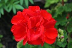 Le piante con il color scarlatto dei fiori tengono la barra di superiorità tra altri rappresentanti della flora fotografia stock libera da diritti