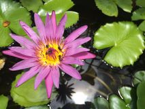 Le piante del fiore di Lotus galleggiano nel giardino tranquillo del fiume con la riflessione in uno stagno, api della luce del s Immagine Stock Libera da Diritti