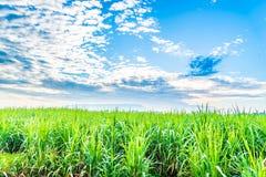 Le piante della canna da zucchero si sviluppano nel campo Fotografie Stock Libere da Diritti
