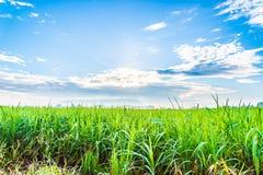Le piante della canna da zucchero si sviluppano nel campo Immagini Stock Libere da Diritti