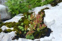 Le piante della montagna su un primo piano della roccia Immagine Stock Libera da Diritti