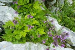 Le piante della montagna su un primo piano della roccia Fotografie Stock