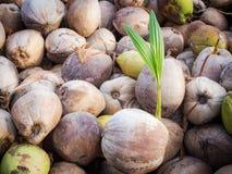 Le piante della noce di cocco sono ben note per la loro grande versatilità come vedono Immagini Stock