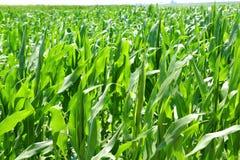 Le piante di cereale di agricoltura sistemano la piantagione verde Fotografia Stock Libera da Diritti