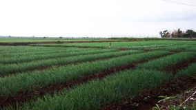 5 Le piante di cipolla rossa di stupore abbelliscono nel giacimento del riso immagine stock libera da diritti