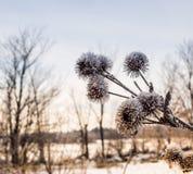 Le piante di inverno della mia terra Immagine Stock